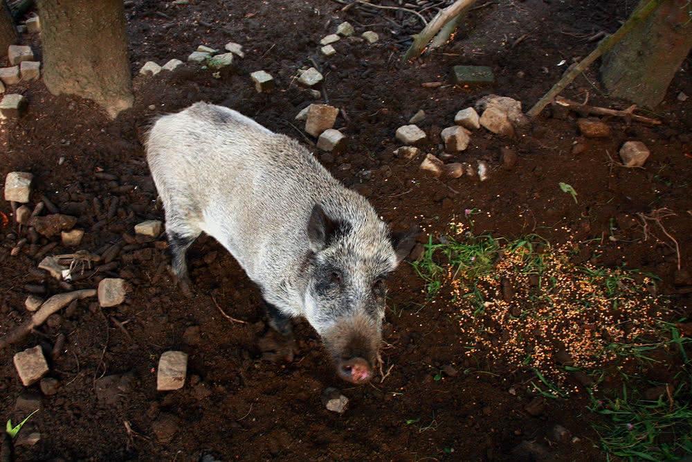 wildschwein backenzahn