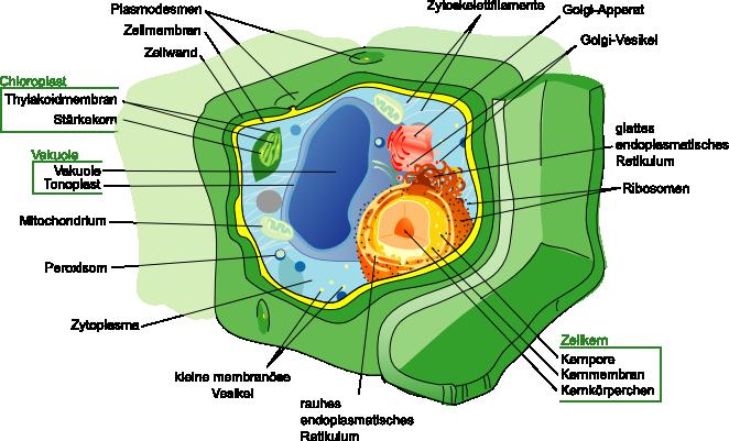 Freies Lehrbuch Biologie: 06.02 Die Zelle I: Zelltypen und ihr Aufbau