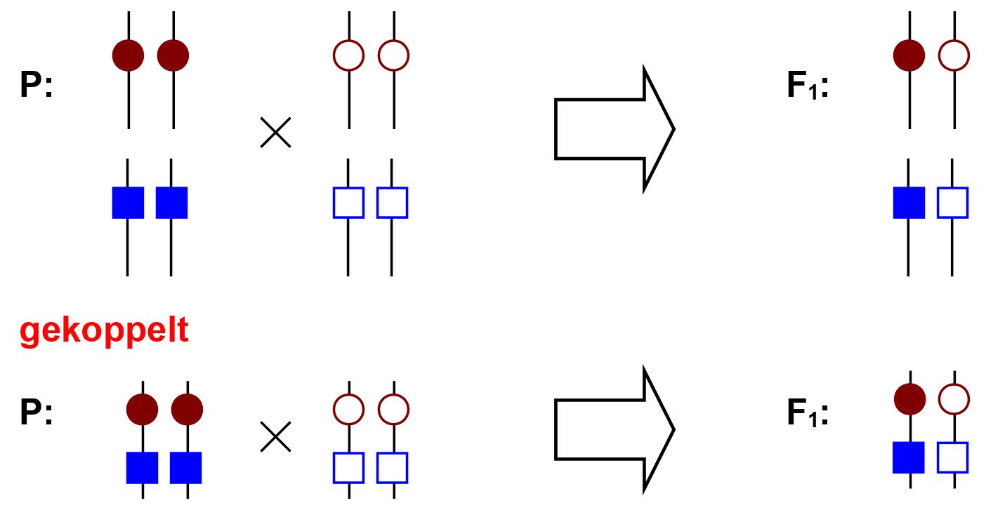 Freies Lehrbuch Biologie: 08.15 Klassische Genetik II