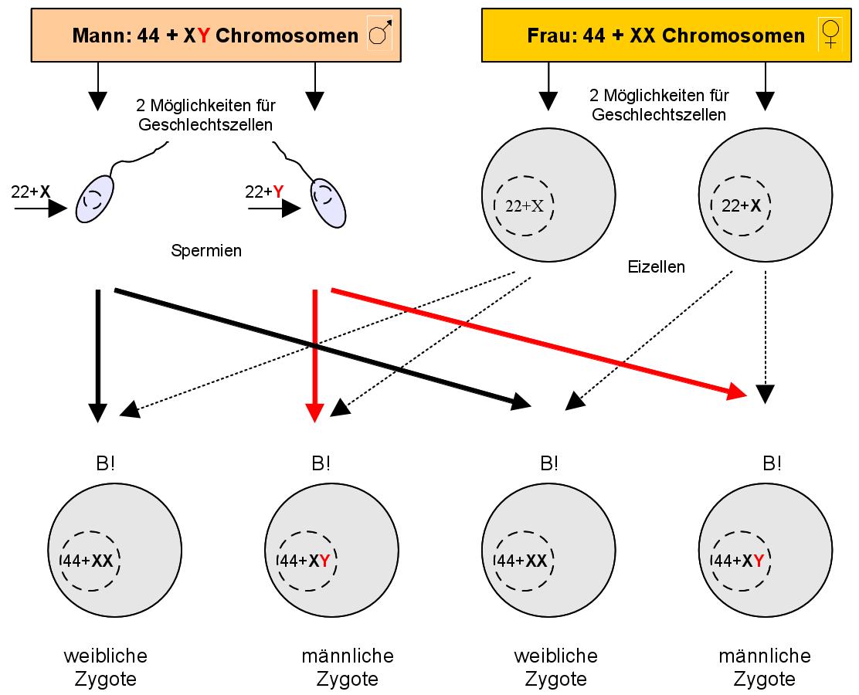 interchromosomale rekombination