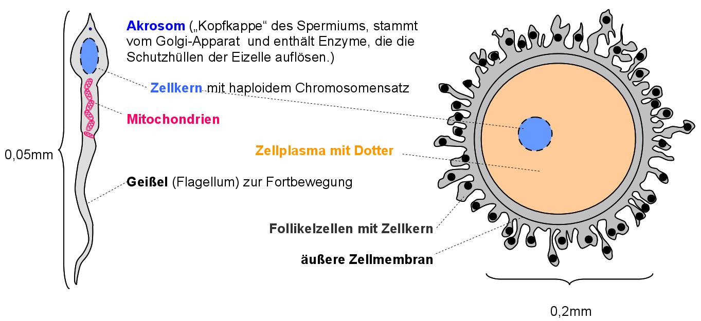 freies lehrbuch biologie zellzyklus mitose und meiose als genetische grundlagen. Black Bedroom Furniture Sets. Home Design Ideas