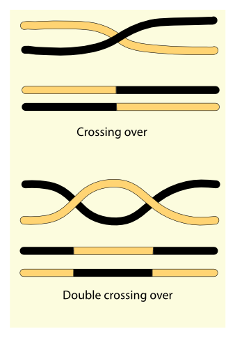 Double Crossing Over