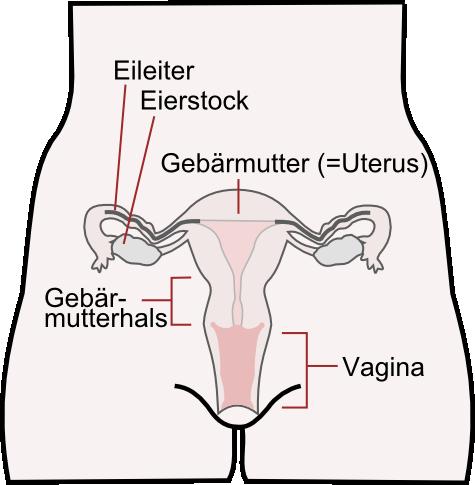 Freies Lehrbuch Biologie: 08.05 Geschlechtsorgane ...