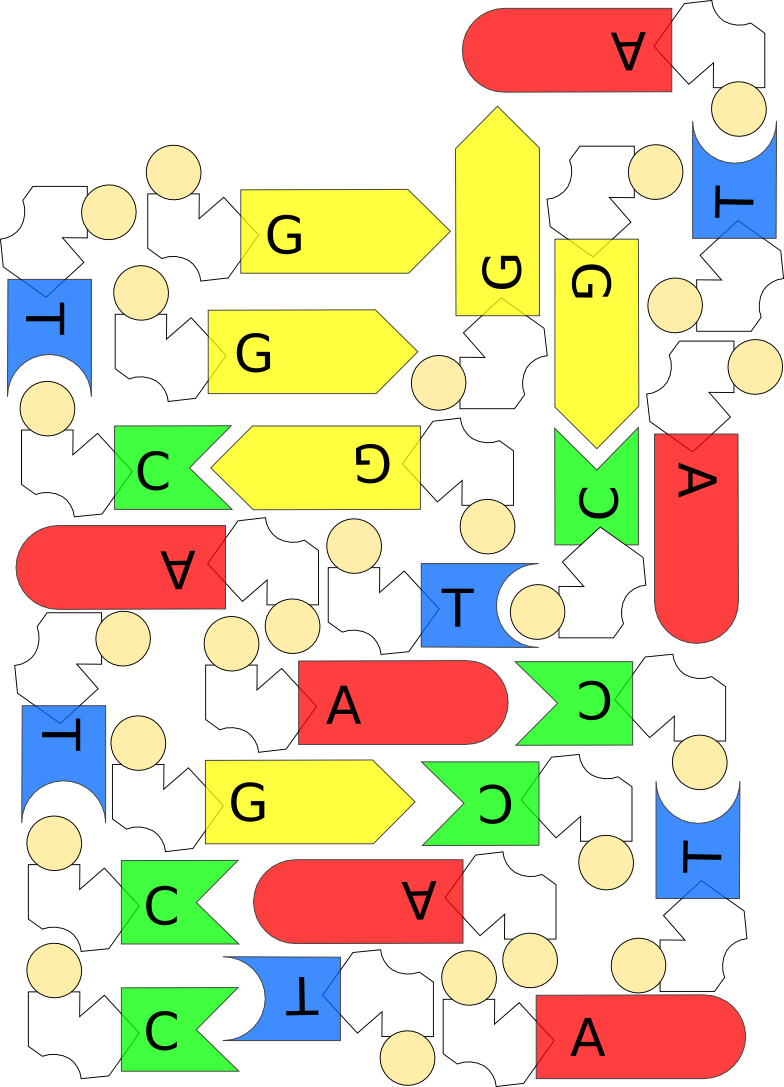 DNA-Puzzle (Freiarbeit DNA & Vererbung))