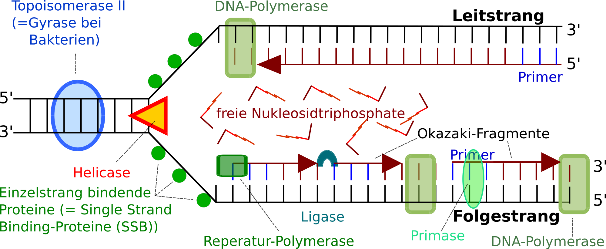 DNA- Replikation im Schema