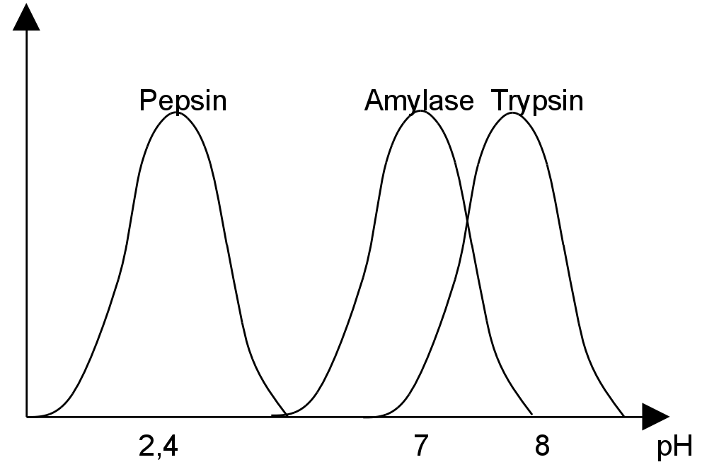pH-Optimum als Diagramm: Pepsin, Amylase, Trypsin
