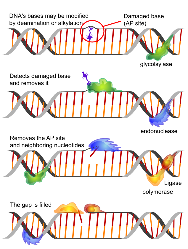 DNA Reperatur