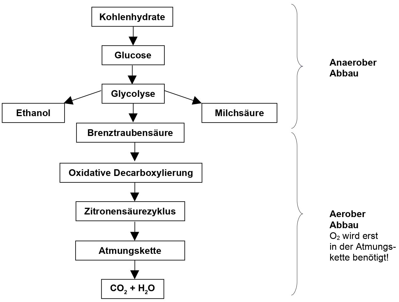 Freies Lehrbuch Biologie: 10.08 Zellatmung - Dissimilation