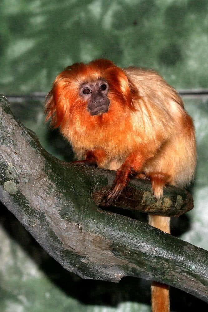 Affen-Datierung